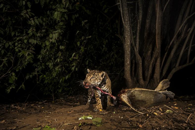 Predación de tortugas marinas por jaguares en ACG, 2019, Foto: José María Tijerino