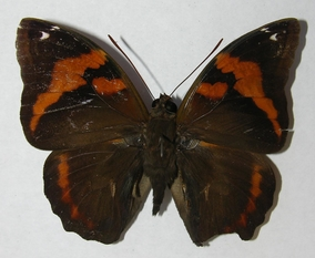Fig.12.  Adulto macho de <i>Opsiphanes jacobsorum</i> (Nymphalidae). Vista dorsal. Voucher:12-SRNP-75601-DHJ562860.jpg