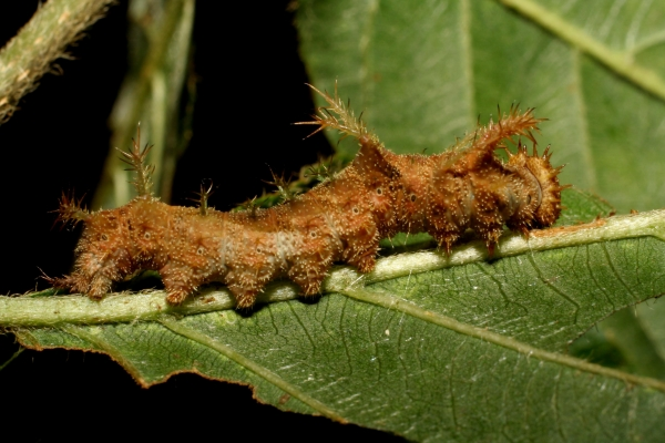 Fig. 1. Larva  de<i> Adelpha iphicleola</i>. en ultimo  estadìo,  Vista lateral  Voucher: 06-SRNP-55189-DHJ409611 jpg