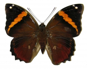 Fig. 1. Macho de  <i>Opsiphanes quiteria</i> (Nymphalidae)  vista dorsal. Voucher: 05-SRNP-55843-DHJ309754