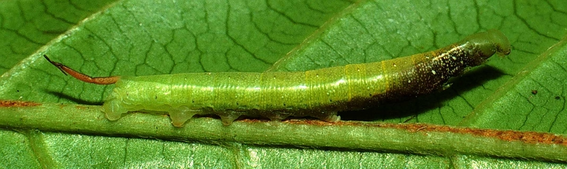 Fig. 6  Larva <i>Unzela japix</i> vista lateral entero, midió 30 mm. Voucher 01-SRNP-2399-DHJ58141.jpg.