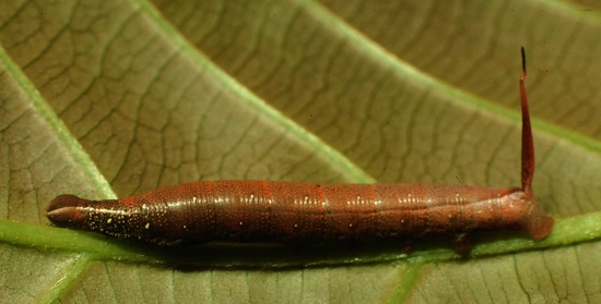 Fig. 5 Larva <i>Unzela japix</i>, vista lateral entero, midió 30 mm. Voucher 98-SRNP-4234-DHJ45136.jpg