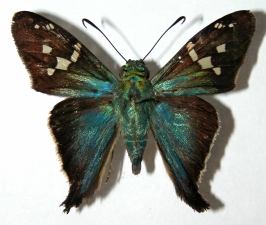 <i>Aguna</i> Burns02 (Hesperiidae)