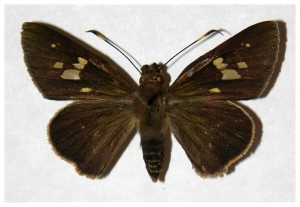 Fig.1. Adulto de <i>Carystoides orbius</i>. Hembra 38mm  de longitud vista dorsal. Voucher : Fig.1. 05-SRNP-3876-DHJ318272.jpg