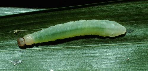 Fig.7. Larva de <i>Carystoides escalantei</i>. 30mm de longitud vista lateral. Voucher : 02-SRNP-24350-DHJ70766.jpg.