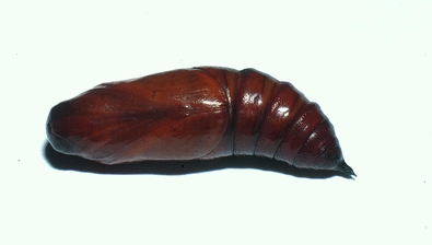 Fig.15. Pupa de <i>Cautethia spuria</i> (Sphingidae), 29mm de longitud, vista ventral. Voucher: 02-SRNP-11779-DHJ68032.jpg.