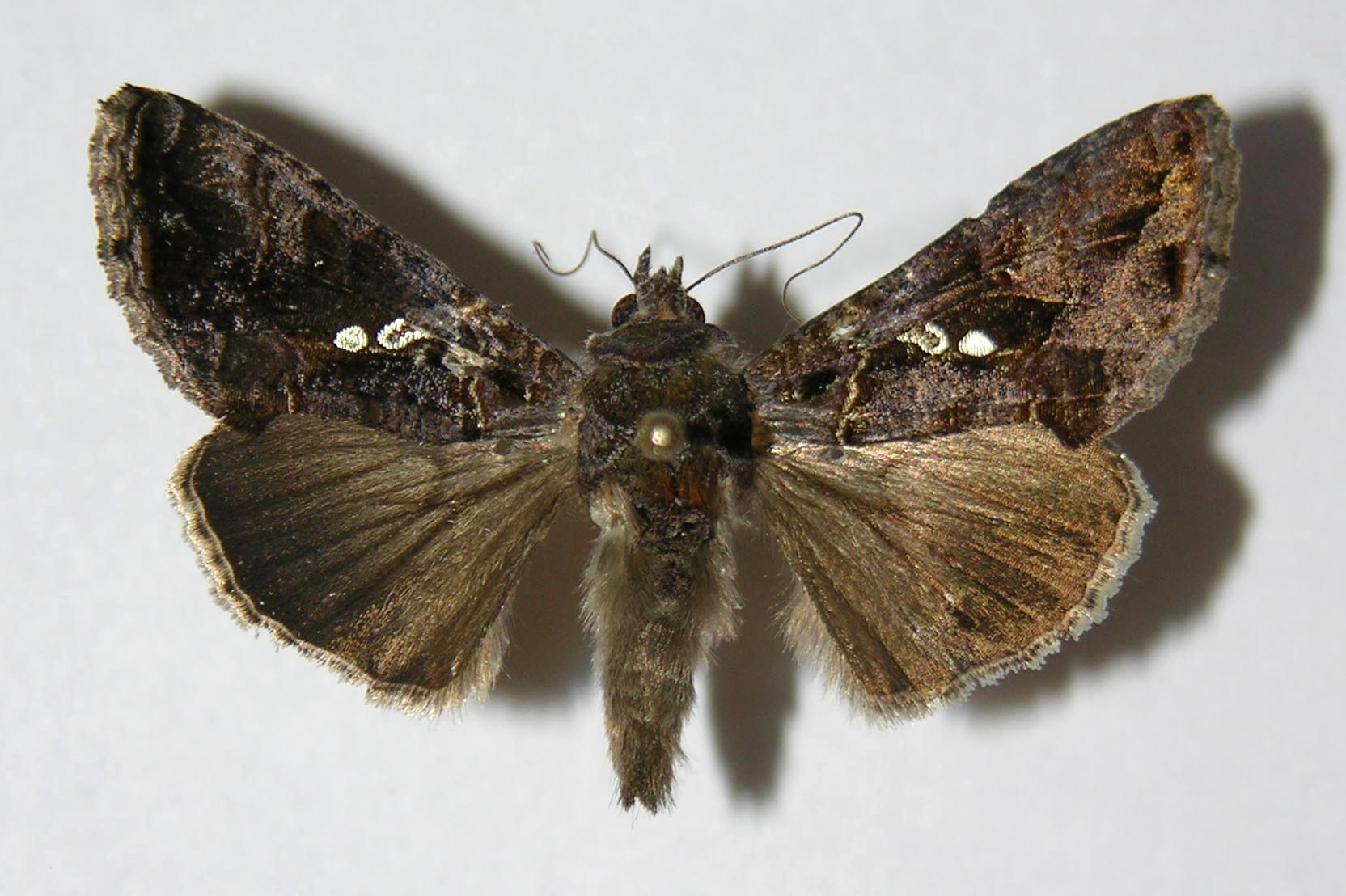 <i>Chrysodeixis includens</i> (Noctuidae)
