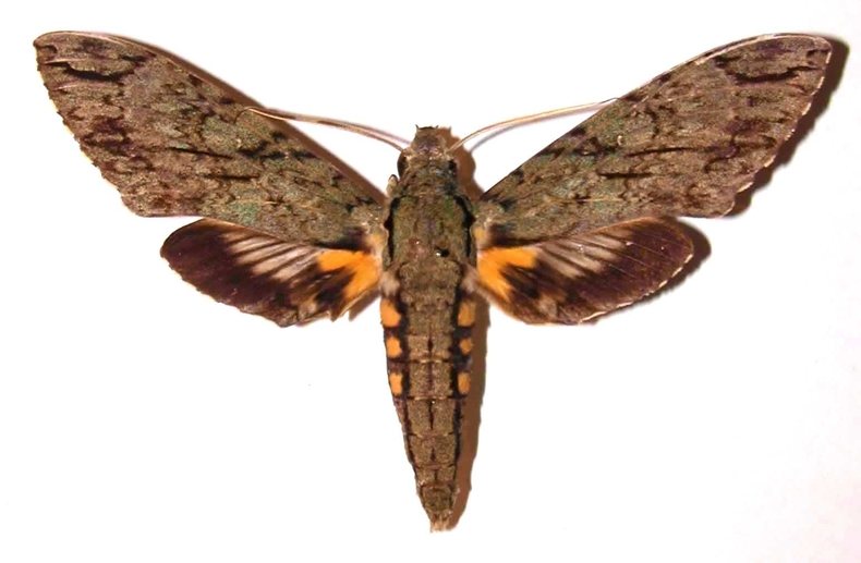 Fig.03. Adulto de <i>Cocytius lucifer</i> (Sphingidae), 124mm de envergadura, macho en vista dorsal. Voucher: 91-SRNP-1553-DHJ35506.jpg.