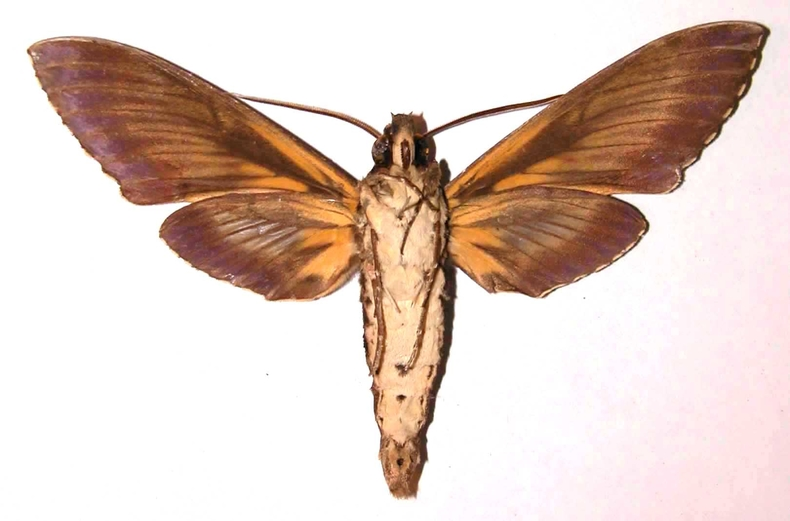 Fig.04. Adulto de <i>Cocytius lucifer</i> (Sphingidae), 124mm de envergadura, macho en vista ventral. Voucher: 91-SRNP-1553-DHJ35507.jpg.