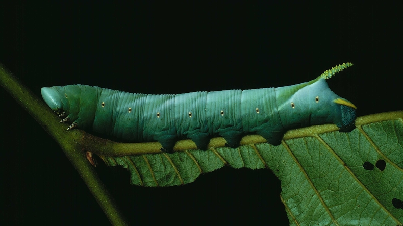 Fig. 06. Larva de <i>Cocytius lucifer</i> (Sphingidae), último estadío 115mm de longitud, vista lateral. Voucher: 90-SRNP-2141-DHJ13350.jpg.