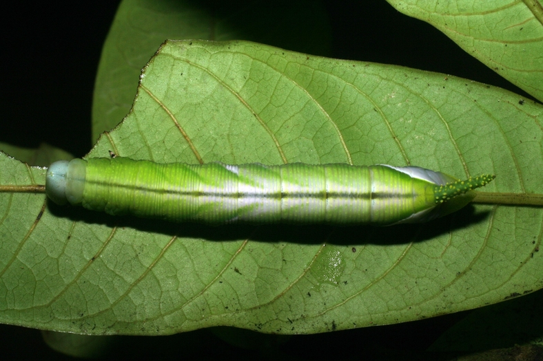 Fig. 08. Larva de <i>Cocytius lucifer</i> (Sphingidae), penúltimo estadío 73mm de longitud, vista dorsal. Voucher: 08-SRNP-5834-DHJ444861.jpg.