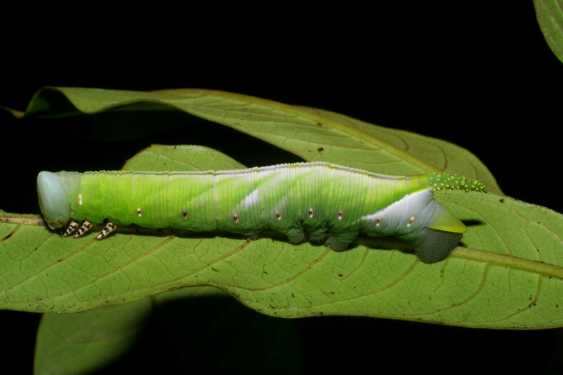 Fig. 09. Larva de <i>Cocytius lucifer</i> (Sphingidae), penúltimo estadío 73mm de longitud, vista lateral. Voucher: 08-SRNP-5834-DHJ444861.jpg.08-SRNP-5834-DHJ444862.jpg.