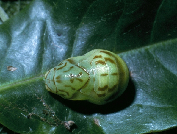 Fig.7 Pupa de <i>Memphis beatrix</i> (Nymphalidae) Vista lateral  Voucher: 04-SRNP-35275-DHJ84999.jpg