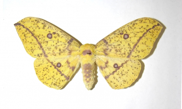 Figura 12. Adulto <i>Eacles imperiales</i>, (Saturniidae), posición dorsal. Voucher:(07-SRNP-43051-DHJ393916.jpg).