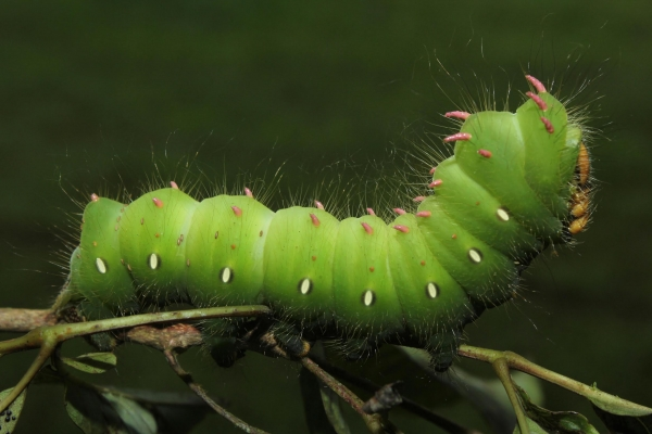 Figura 11. Larva <i>Eacles imperiales</i>, (Saturniidae), posición lateral. Voucher: (15-SRNP-70109-DHJ726773.jpg).