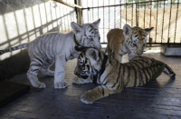 MINAE no ha recibido solcicitud formal de importación de Tigres de bengala