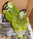 Trasiego ilegal de loras nuca amarilla (<i>Amazona auropalliata</i>)